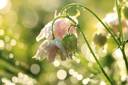 rain, drops, selective focus, dew, bokeh, background, ray, beauty, bloom, blue, blur, nature, sun, sparks, bright, colorful, colorful flowers, grass, green, lawn, leaf, meadow, natural, nature, park, plant, purple, saffron, scenic, sky, soft, spring, symbol