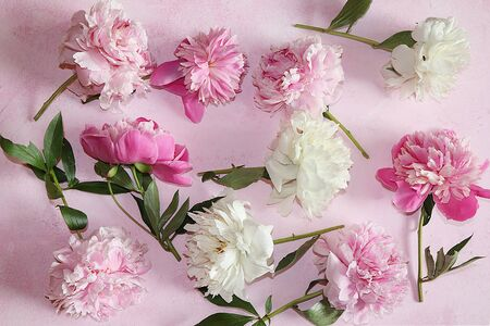 Peonies on a pink background, top view, selective focus. Background of peonies with copy space. 免版税图像