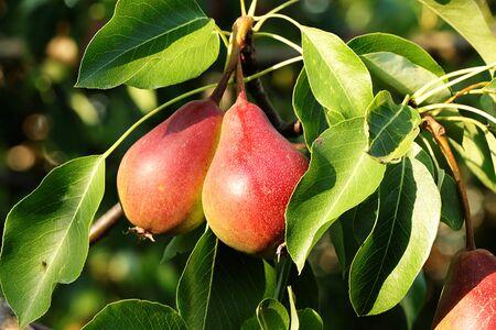 Poire dans le jardin ensoleillé d'automne sur les branches d'arbres. Récolte au chalet du village, beauté et cadeaux de la nature, alimentation diététique naturelle, mise au point sélective