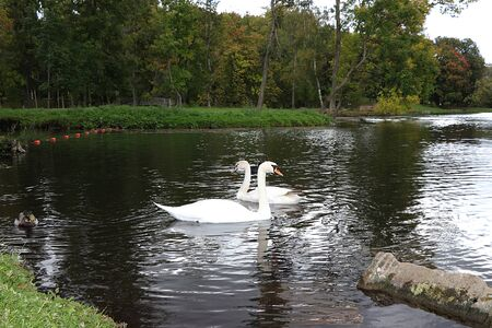 Swans on the autumn lake. Dad swan and his son swim in the pond, preserving the environment, protecting nature.