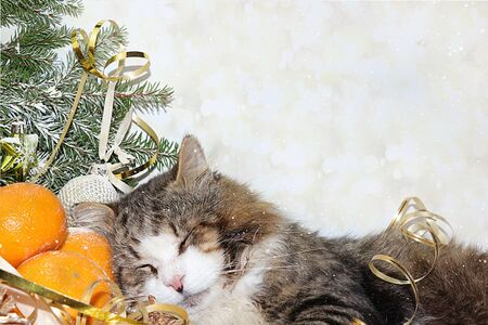 Christmas background with cat sleeping on tangerines and Christmas tree branches with a toy and a ribbon on a bokeh background. Banner for text and holiday card Stock Photo