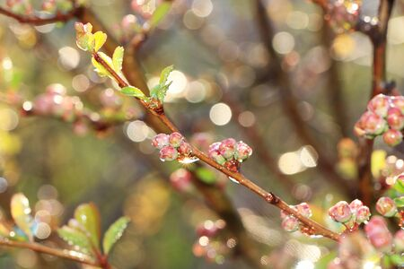 Spring floral background, blurry abstract branches of trees with drops and bokeh, Birth of a new life. Runs of the first leaves in the garden in the sun, selective focus, Foto de archivo - 139996064