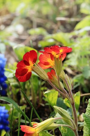 Spring floral background, Birth of a new life. Evening primrose runs in the garden in the sun, selective focus, Foto de archivo - 139980425