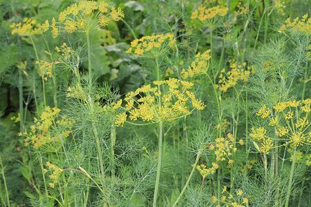 Fresh dill in the natural environment in the garden. The concept of gardening and farming. Growing useful herbs in the country. Natural spring background.