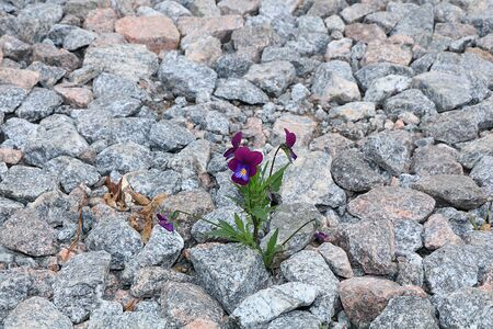 A flower on a stone, the birth of a new life in very difficult conditions. The concept of spring. An amazing miracle of survival in stones. Life is hard
