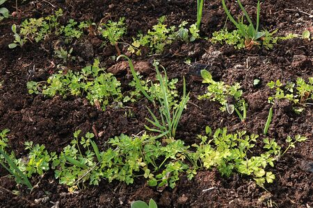 Fresh parsley in the natural environment in the garden at the garden. The concept of gardening and farming. Growing healthy herbs in the country. Natural spring background.