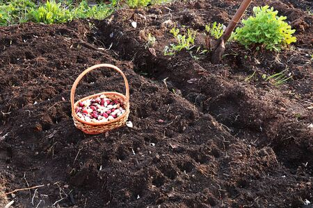 A basket of onions before planting in the spring in the garden. Agricultural work in the country, planting onions in the beds
