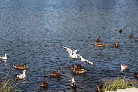 Seagulls and ducks on spring lake are fighting for food. Survival of the fittest in the wild, conservation of the environment in Russia