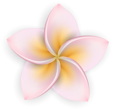 Single pink frangipani on white  Plumeria flower  Detailed