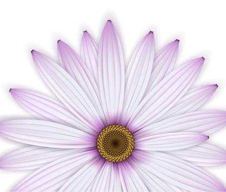 osteospermum: Crop of purple daisy
