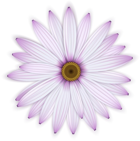 Purple daisy flower. Isolated over white. Detailed vector illustration. Eps10.