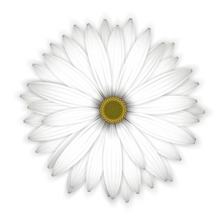 Daisy flower background. Isolated on white. Detailed illustration. Illustration