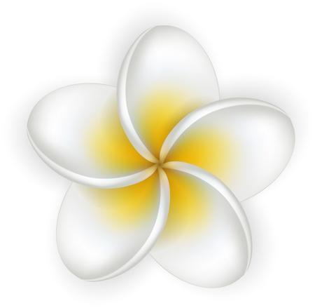 Single frangipani on white. Plumeria flower. Detailed background. Stock Vector - 21021671