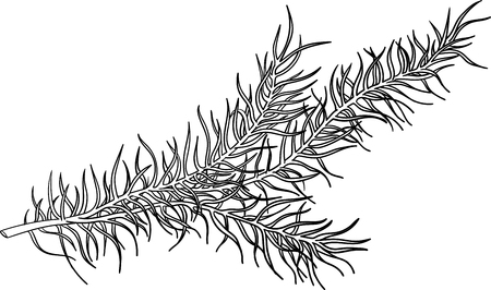 Fir branch sketch for Christmas decoration isolated on white background. Vector paper illustration.