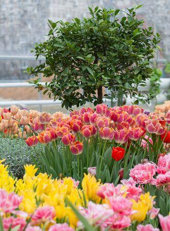 tangerine tree: The tangerine tree in the greenhouse and flowering varietal tulips