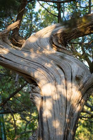 enebro: Árbol de enebro antigua
