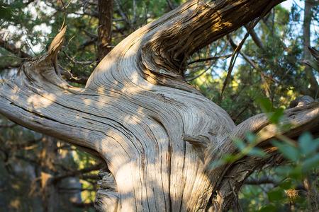 juniper: Juniper bark.
