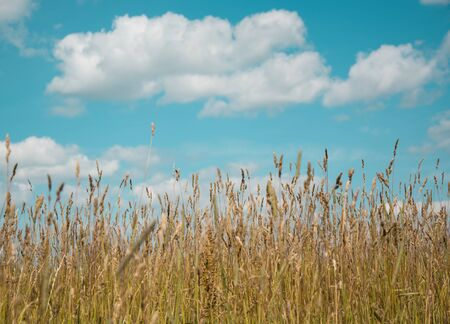 Summer meadow and bright sky with clouds. Ripe ears. Soft focus. photo