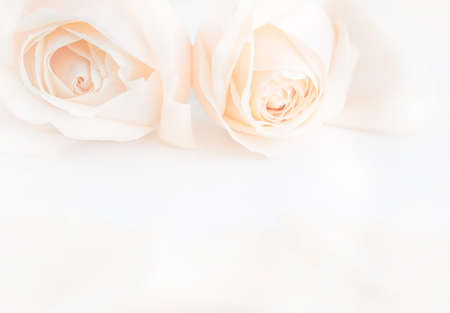 neutral background: Soft full blown delicate roses as a neutral background. Selective focus.