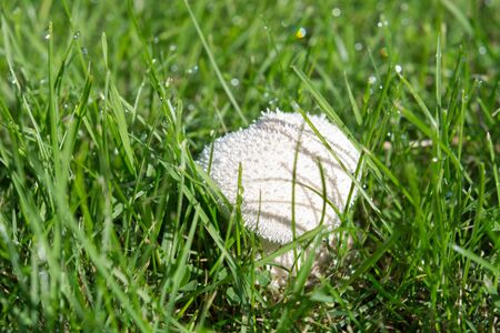 uneatable: Fresh whole white mushrooms in green grass, selective focus. Close up. Stock Photo