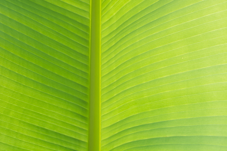 Closeup green banana leaf texture, Abstract Banana leaf background. Pattern.