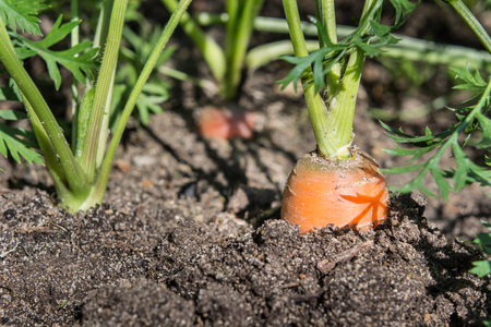Raw carrot with tops is growing. Farming. Close up, macro.