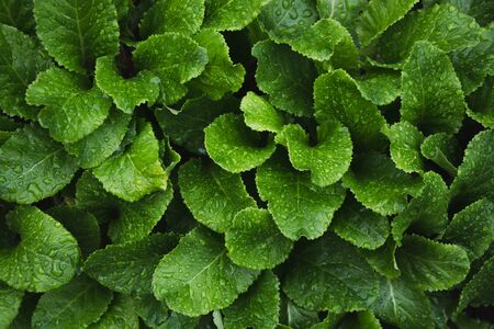 Green leafs of primula with raindrops. Top view in garden. Flat lay. Nature background. Stock Photo