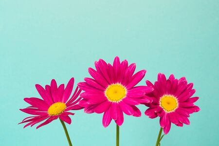 Three pink pyrethrum flowers on blue sky as background. Pink daisy. Close up.