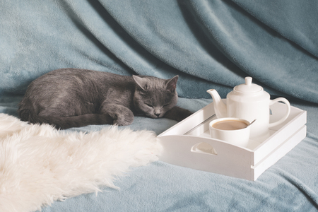 Hygge and cozy concept. British cute cat resting on cozy blue pled couch in home interior of living room. Breakfast at home. Cup of coffee on a serving tray.