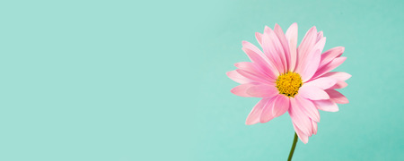 Pink pyrethrum flowers on blue background. Pink daisy. Copy space.