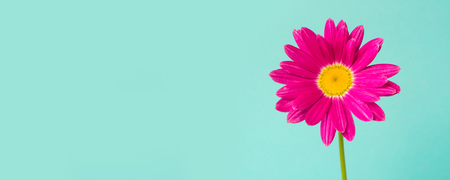 Pink pyrethrum flowers on blue background. Pink daisy. Close up. Copy space for text.