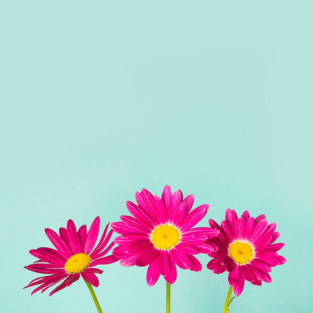 Three pink pyrethrum flowers on blue sky as background. Pink daisy. Space for text.
