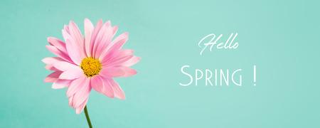Pink pyrethrum flowers on blue background. Hello spring.