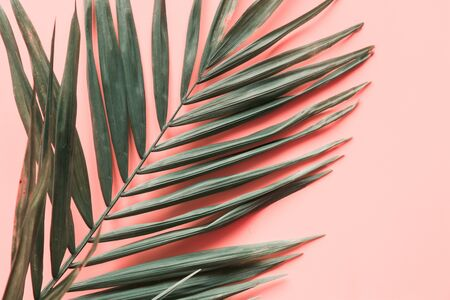 Leaves of palm on pink background. Close up, isolated with copy space.