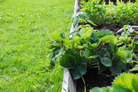 Strawberries, vegetable and greens garden beds. Gardening. Summer hobby. Close Up. Outdoor Fresh greens