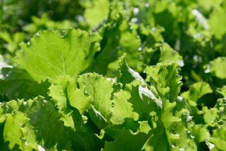 Fresh salad in garden bed after the rain. Summer harvest in garden herb.