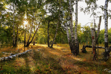 Beautiful forest birch grove in the sunlight Фото со стока