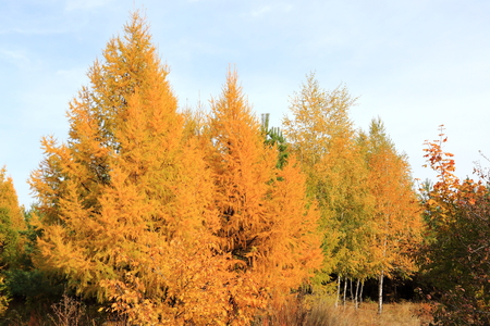 golden autumn in the forest of larch and birch Stock Photo