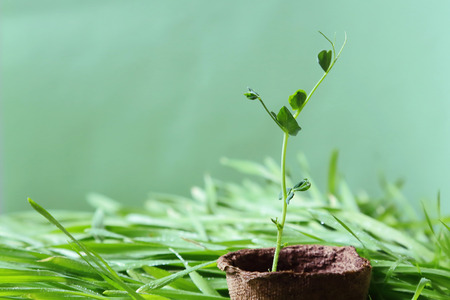 Eco-friendly spring garden background is bluish-green in color. Planted seedlings. A young pea sprout growing in a peat pot on fresh lawn grass. Foto de archivo