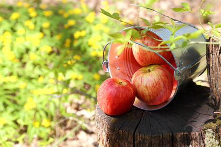 Harvest of ripe juicy red apples in a bucket on a stump on a natural sunny background. Stock Photo