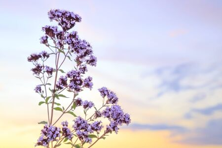 Summer floral abstract bright defocused background with oregano and a beautiful blue sky with a copy space