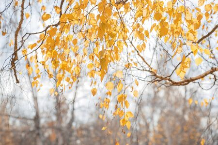 Autumn seasonal October background with bright colorful yellow golden branches and birch foliage in the sunlight in the forest on nature in nice warm sunny weather 写真素材