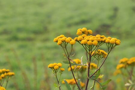 Cosmetology, traditional alternative medicine, herbal medicine, medicinal herb, inflorescence of yellow tansy flowers on a green background with copy space