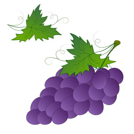 Bunch of ripe fresh blue purple wine grapes on a branch with green leaves isolate on a white background. Harvest, healthy food, wine making ingredient