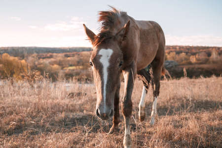 Animals mammals one young brown horse foal in a field in a meadow on a pasture in autumn 免版税图像