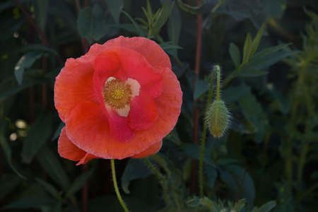 Red poppy with an unopened bud on a background of beautiful greenery