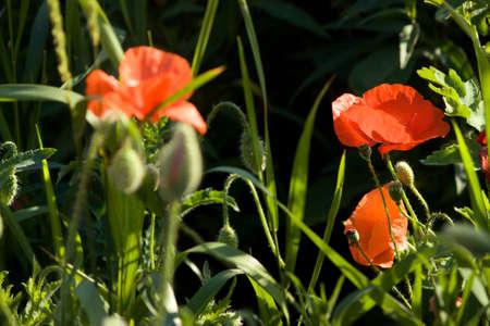 A fragment of a poppy field in the harsh midday light. 版權商用圖片