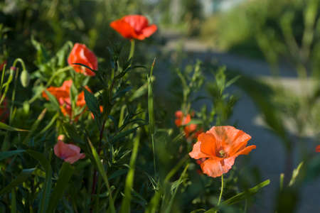 Red poppy in hard bright light against the background among other poppies. The background is blurred. There is only one flower in focus.