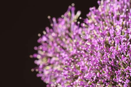 frescura: flores de color violeta de la frescura en el fondo desenfocada negro. Foto de archivo