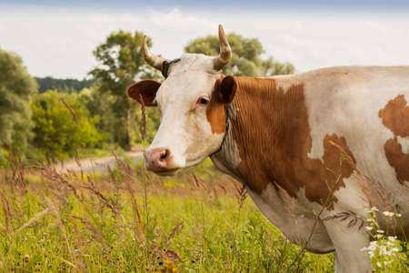 farming village: Red young cow with white spots on pasture in the village in summer time - ecological balance way of farming Stock Photo